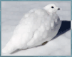 White-tailed Ptarmigan at Guanella Pass Colorado, November 20, 2001; Last Observed May 5, 2002; photo by Bryan Ehlmann